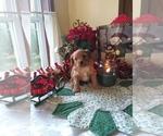 Puppy 2 Cavapoo-Poodle (Miniature) Mix