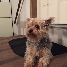 Yorkshire Terrier Puppy For Sale in AUBURN, IN, USA