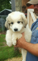 Great Pyrenees Puppy for sale in SHELBY, NC, USA