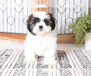Shih Tzu Puppy for sale in NAPLES, FL, USA