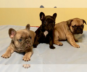 French Bulldog Puppy for sale in ANDOVER, MN, USA