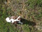 Boston Terrier Puppy For Sale in ARKADELPHIA, AR
