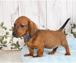 Small Dachshund