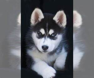 Siberian Husky Puppy for sale in LEXINGTON, KY, USA