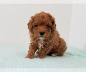Poodle (Miniature) Puppy for Sale in CLARK, Missouri USA