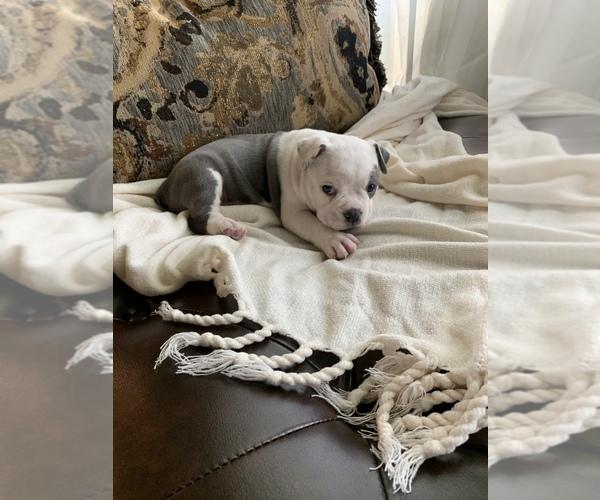 Medium Photo #8 Olde English Bulldogge Puppy For Sale in BOSSIER CITY, LA, USA