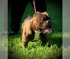 Father of the American Bully puppies born on 11/30/2020