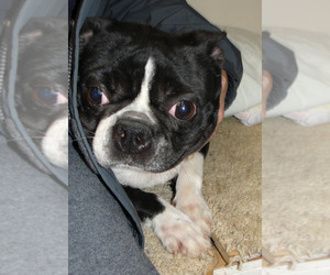 Boston Terrier Puppy for sale in CHARBONNEAU, OR, USA