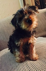 Yorkshire Terrier Puppy for sale in LANSING, MI, USA