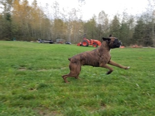 Boxer Puppy For Sale in MARYSVILLE, WA