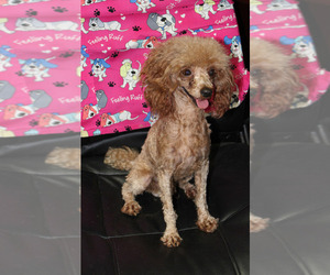 Father of the Cavapoo puppies born on 04/13/2021