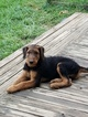 AKCl Airedale terrier male puppy