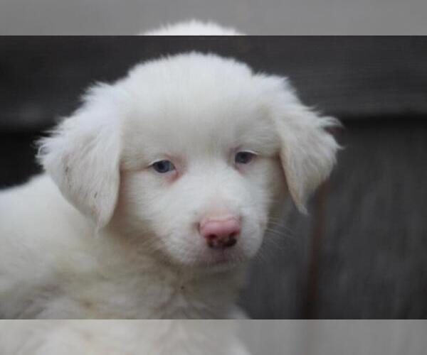 Medium Photo #3 Australian Shepherd Puppy For Sale in MODESTO, CA, USA