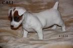 Jack Russell Terrier Puppy For Sale in ELIZABETH, Colorado,