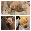 Chinese Shar-Pei Puppy For Sale in IRVING, TX