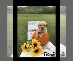 Golden Retriever Puppy for sale in PATRICK SPGS, VA, USA