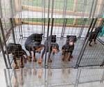 Small #79 Rottweiler