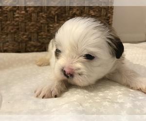 Shih Tzu Puppy for sale in ARDEN, NC, USA