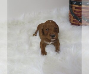 Goldendoodle (Miniature) Puppy for sale in PLATTEVILLE, WI, USA