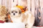 Shih Tzu Puppy For Sale in BEL AIR, MD, USA