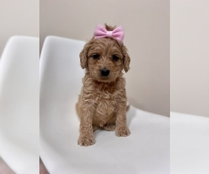 Australian Labradoodle Puppy for Sale in MACON, Illinois USA