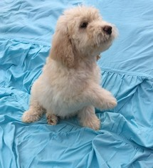 Labradoodle Puppy For Sale in VERGENNES, IL, USA