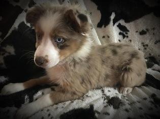 Miniature Australian Shepherd Puppy For Sale in COLUMBIA, KY, USA