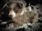 Miniature Australian Shepherd Puppy For Sale in COLUMBIA, KY,