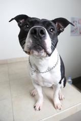 Lucy D151615 - American Pit Bull Terrier / Mixed (short coat) Dog For Adoption