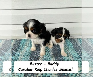 Cavalier King Charles Spaniel Puppy for sale in CLARKRANGE, TN, USA