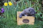 Cane Corso Puppy For Sale in VANCOUVER, WA