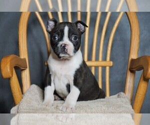 Boston Terrier Puppy for sale in FREDERICKSBG, OH, USA
