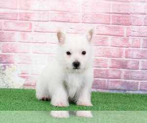 West Highland White Terrier Puppy for sale in BEL AIR, MD, USA