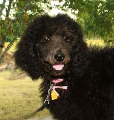 Poodle (Standard) Puppy For Sale in BOAZ, AL