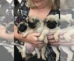Small #17 Pug