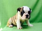 Bulldog Puppy For Sale in ARLINGTON, VA