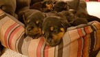 Rottweiler Puppy For Sale in LANCASTER, OH,