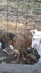 Bullboxer Pit Puppy For Sale in DALTON, OH