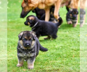 German Shepherd Dog Puppy for Sale in ALICE, Texas USA