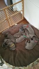 Great Dane Puppy For Sale in HOUSTON, TX