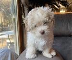 Puppy 2 Lhasa Apso-Poodle (Standard) Mix