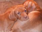 Vizsla Puppy For Sale in BRANCHVILLE, NJ, USA