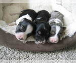 Small Photo #2 Austi-Pap Puppy For Sale in NEWARK, DE, USA