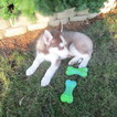 Siberian Husky Puppy For Sale in NEW HAVEN, IN, USA