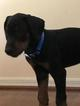 Doberman Pinscher Puppy For Sale in SAFETY HARBOR, FL, USA