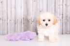 Blondie Female MaltiPoo