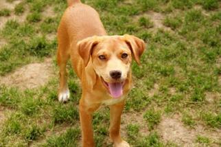 Trapper - Shepherd Dog For Adoption