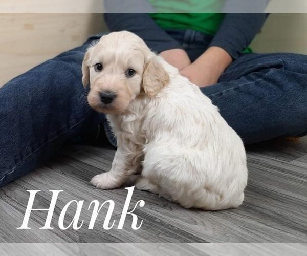 Medium Photo #3 Goldendoodle Puppy For Sale in CEDAR GAP, MO, USA
