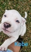 UKC Registered Purple Ribbon American Pitbull