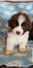Newfoundland Puppy For Sale in OLLIE, IA, USA